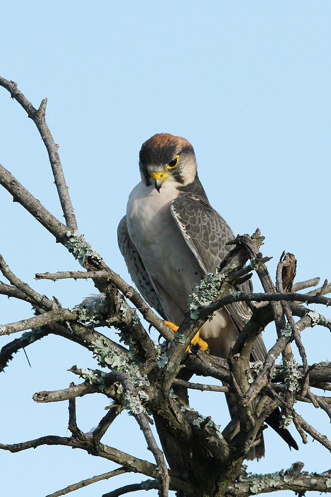 Lanner Falcon / Zaagkuildrift, South Africa / 15 Feb 2014