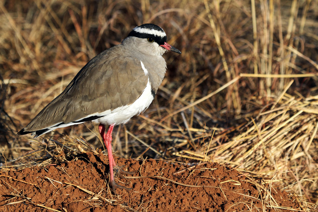 Crowned Lapwing / Rietvlei Nature Reserve, South Africa