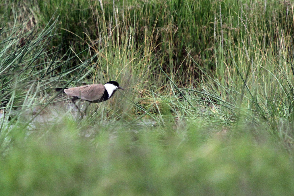 Spur-winged Lapwing / Lake Nakuru, Kenya