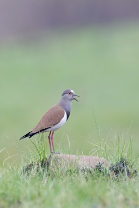 Black-winged Lapwing / Mbona Nature Reserve, KwaZulu Natal, South Africa / September 2020