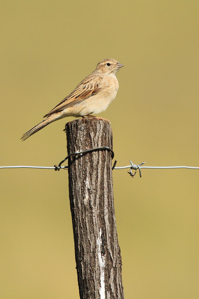 Lark-like-Bunting_Devon,-South-Africa_09-March-2013_&&