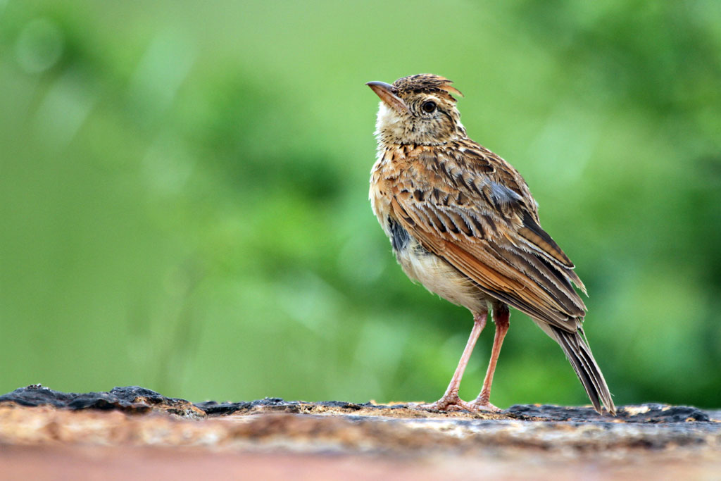 Rufous-naped Lark (Transvaalensis) / Rietvlei Nature Reserve, South Africa