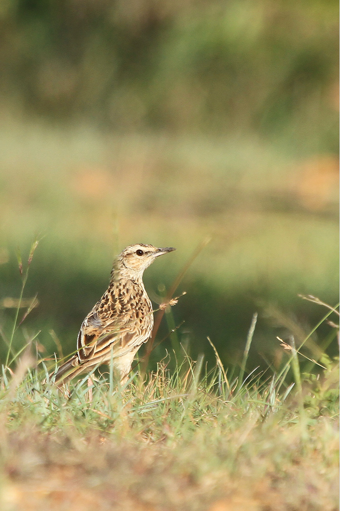Lark_Short-clawed_Mamabola_Grasslands_Magoeboskloof_South_Africa