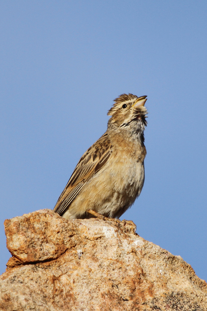 Larklike-Bunting_Augraabies-Falls-National-Park,-South-Africa_09-May-2013-8