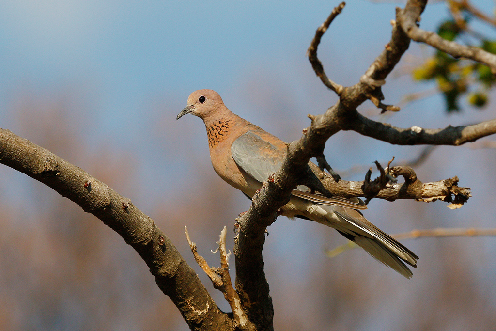 Laughing Dove / Kololo Game Reserve, Vaalwater, South Africa / 25 September 2015