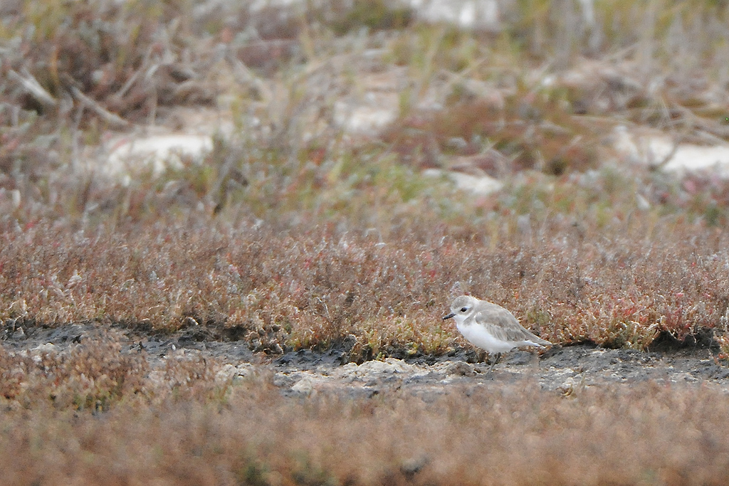 Lesser Sand Plover / West Coast National Park, South Africa / 23 May 2015