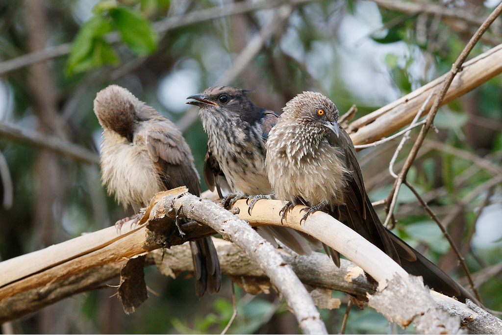 Leveillant's Cuckoo (& arrow-marked babblers – adult and juvenile) / Mabula Game Reserve, Waterberg, South Africa / 06 January 2015