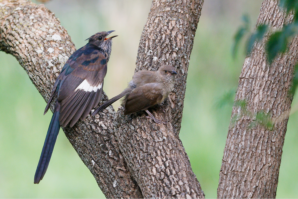 Leveillant's Cuckoo (& arrow-marked babbler juvenile) / Mabula Game Reserve, Waterberg, South Africa / 06 January 2015
