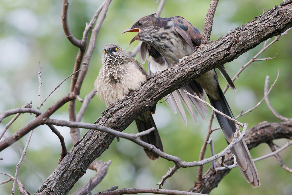 Leveillant's-Cuckoo-&-Arrow-marked-Babbler—-Mabula-Game-Reserve,-Waterberg,-South-Africa—06-January-2015-BEST-5-CR-SMSH-WEB