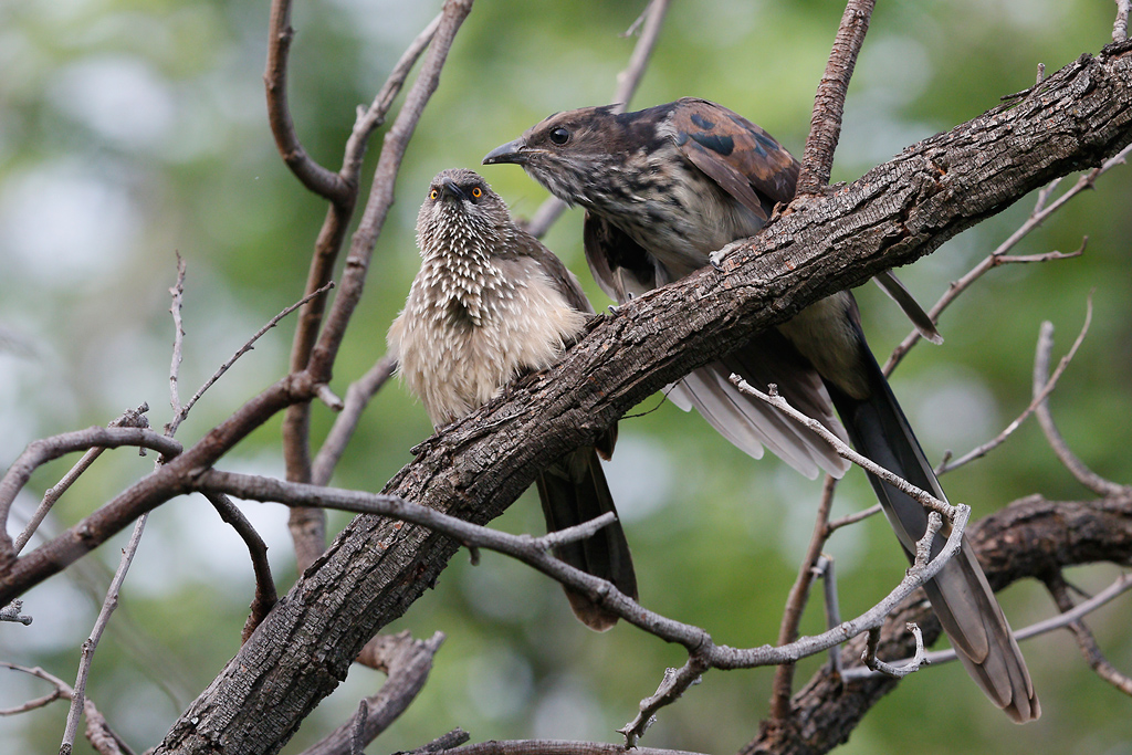 Leveillant's Cuckoo (& arrow-marked babbler) / Mabula Game Reserve, Waterberg, South Africa / 06 January 2015
