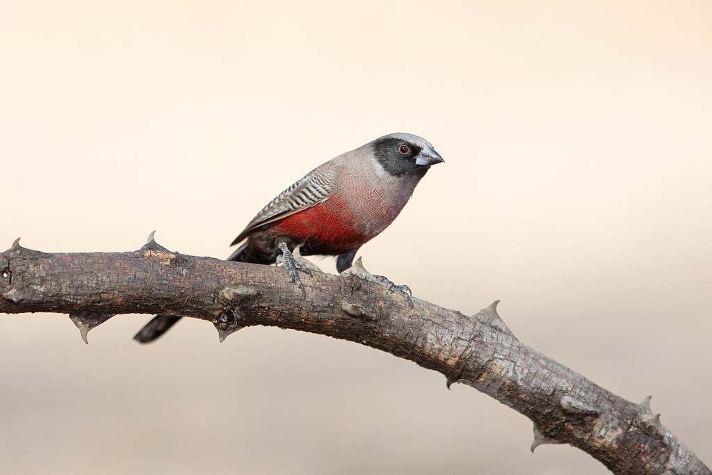 Black-faced Waxbill