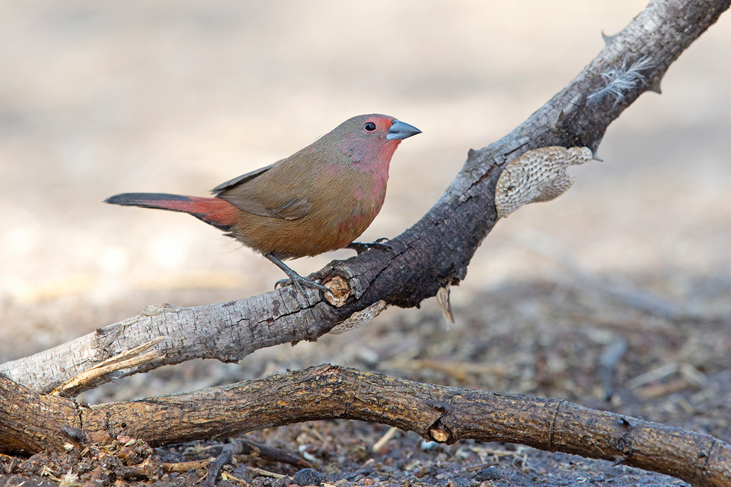 Jameson's Firefinch (female) / Limpopo Lipadi, Botswana / August 2017