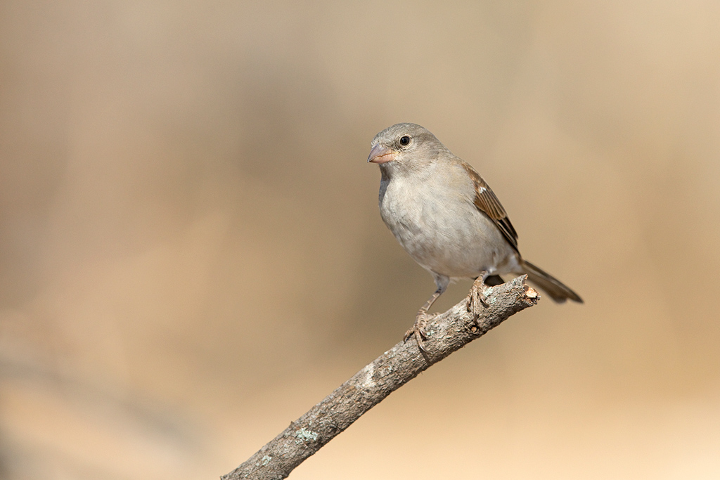 Southern Grey-headed Sparrow / Limpopo Lipadi, Botswana / August 2017