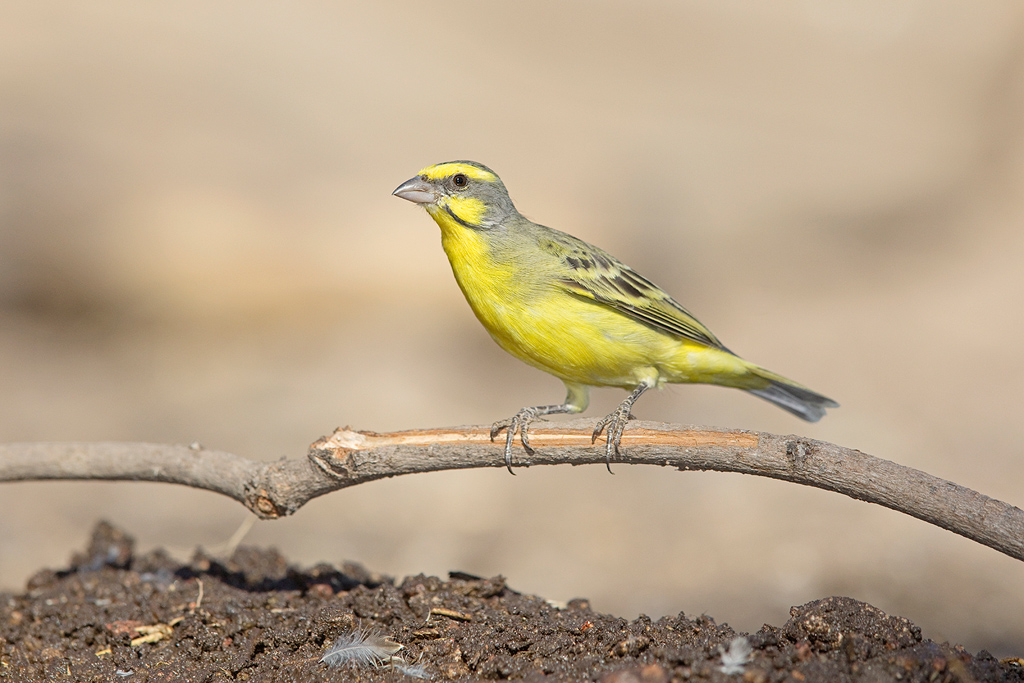 Yellow-fronted Canary – Bird & Wildlife Photography by ...