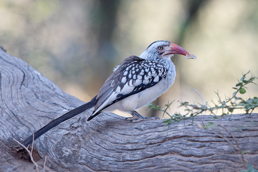 Southern Red-billed Hornbill / Limpopo Lipadi, Botswana / August 2017