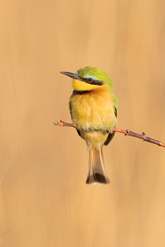Little Bee-eater / Waterberg, South Africa / September 2019