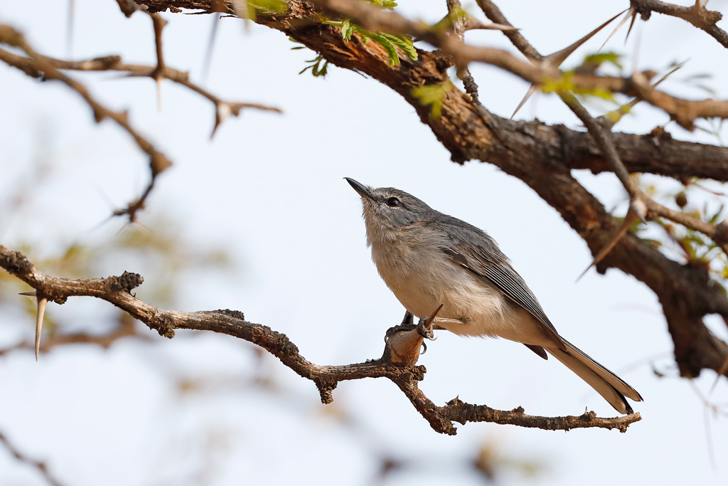 Grey Tit Flycather / Lindani Game Farm, Waterberg, South Africa / September 2019