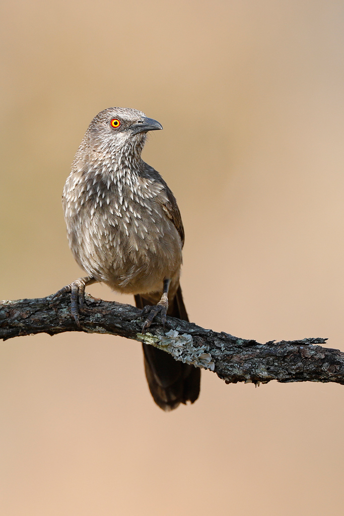 Arrow-marked Babbler / Lindani Game Reserve, Vaalwater, South Africa / September 2019