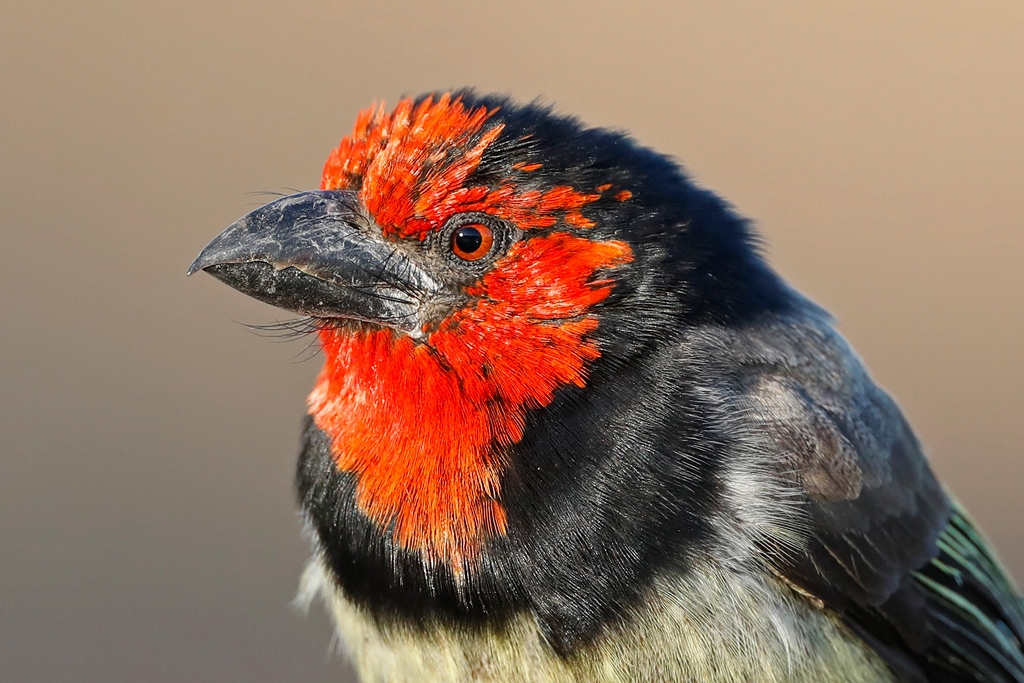 Black-collared Barbet / Lindani Game Reserve, Waterberg, South Africa / September 2019