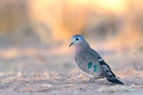 Emerald Spotted Wood-dove / Lindani Game Reserve, Waterberg, South Africa