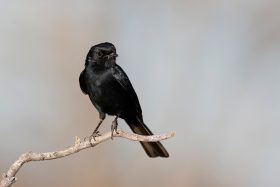 Southern Black Flycatcher / Lindani Game Lodge, Waterberg, South Africa