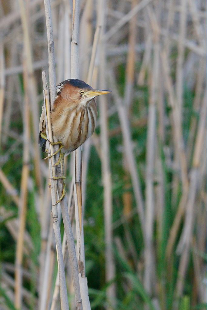 Little Bittern / Marievale Bird Sanctuary, Nigel, South-Africa / 22-November 2014
