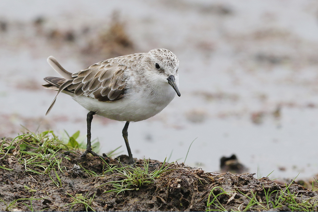 Little Stint / Marievale Bird Sanctuary, Nigel, South Africa / 08 November 2014