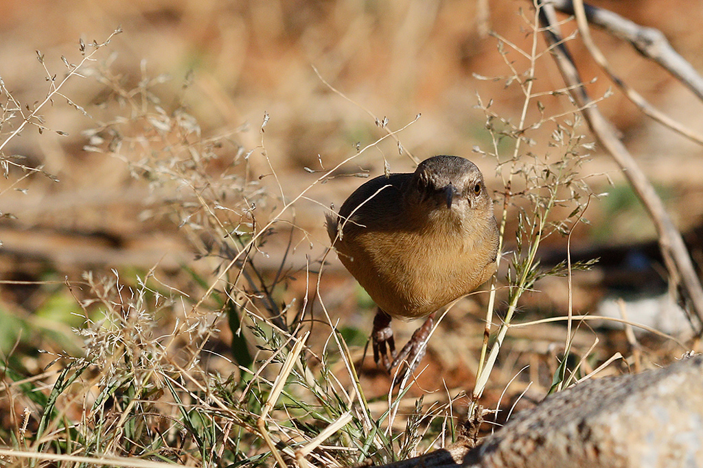 Long-billed Crombec / Tswalu Kalahari Reserve, South Africa / 16 June 2015