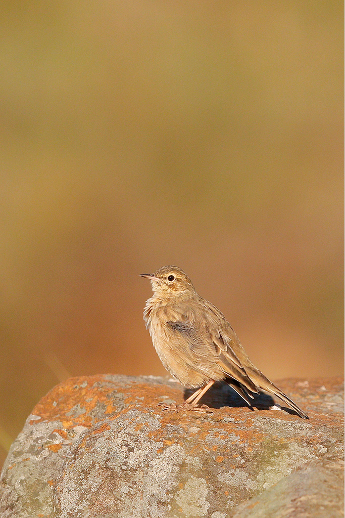 Long-billed Pipit / Underberg, KZN, South Africa / 14 April 2015