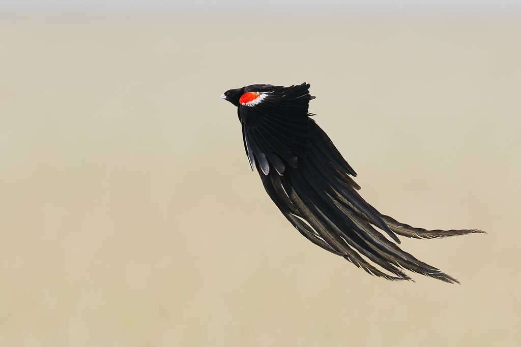 Long-tailed Widowbird / Devon Roadside Routes, South Africa / 15 February 2015
