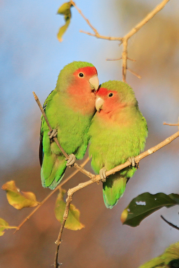 Rosy-faced Lovebird / Erongo Wilderness Camp, Central Namibia