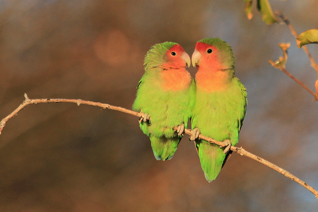 Rosy-faced Lovebird / Erongo Wilderness Camp, Central Namibia (Edited – removed foliage below)