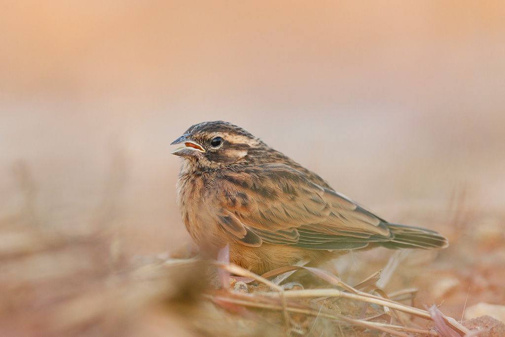 Cinnamon-breasted Bunting / Mabusa Game Reserve, South Africa / 07 May 2016