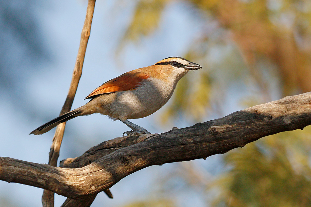 Black-crowned Tchagra / Mabusa Game Reserve, South Africa / 07 May 2016