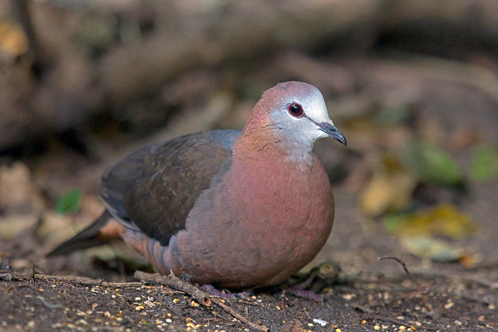 Cinnamon & Lemon Dove / Twinspot Hide, Kurisa Moya, Magoeboskloof, Limpopo Province, South Africa / 20 June 2017