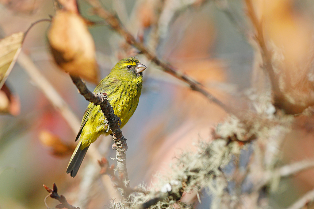 Forest Canary / Magoeboskloof, Limpopo Province, South Africa / June 2017
