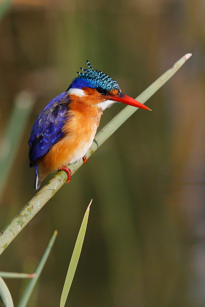 Malachite Kingfisher / Marievale Bird Sanctuary, Nigel, South Africa / 09 May 2015