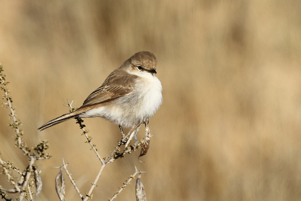 Marico-Flycatcher_Kgalagadi-TP,-South-Africa_8-June-2014-2