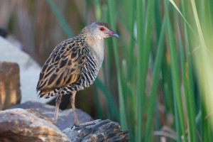Special Birds / African Crake / Marievale Bird Sanctuary, South Africa