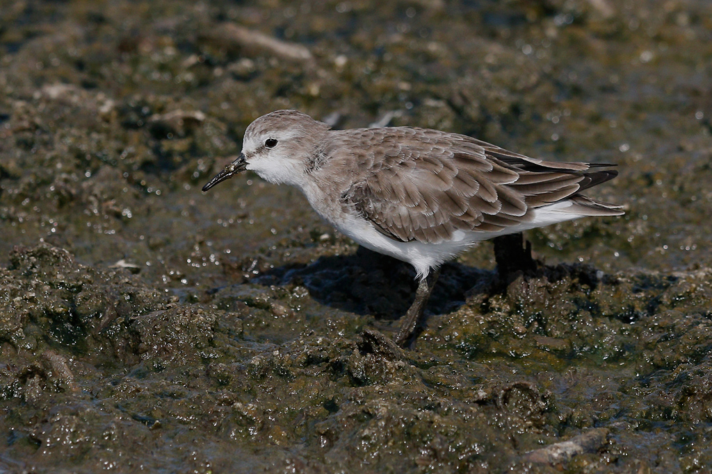 Little Stint / Marievale Bird Sanctuary, Nigel, South Africa / 28 December 2015