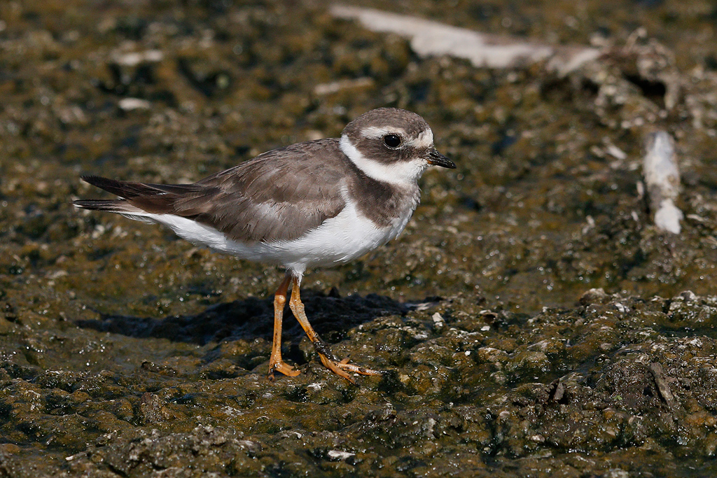 Common Ringed Plover / Marievale Bird Sanctuary, Nigel, South Africa / January 2016