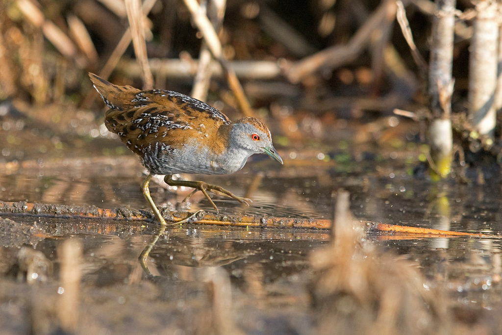 Baillon's Crake / Marievale Bird Sanctuary, Nigel, Gauteng, South Africa / 14 November 2017