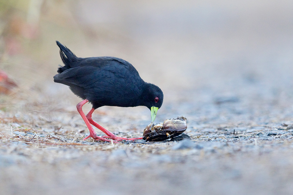 Black Crake / Marievale Bird Sanctuary, Nigel, South Africa / 11 March 2018