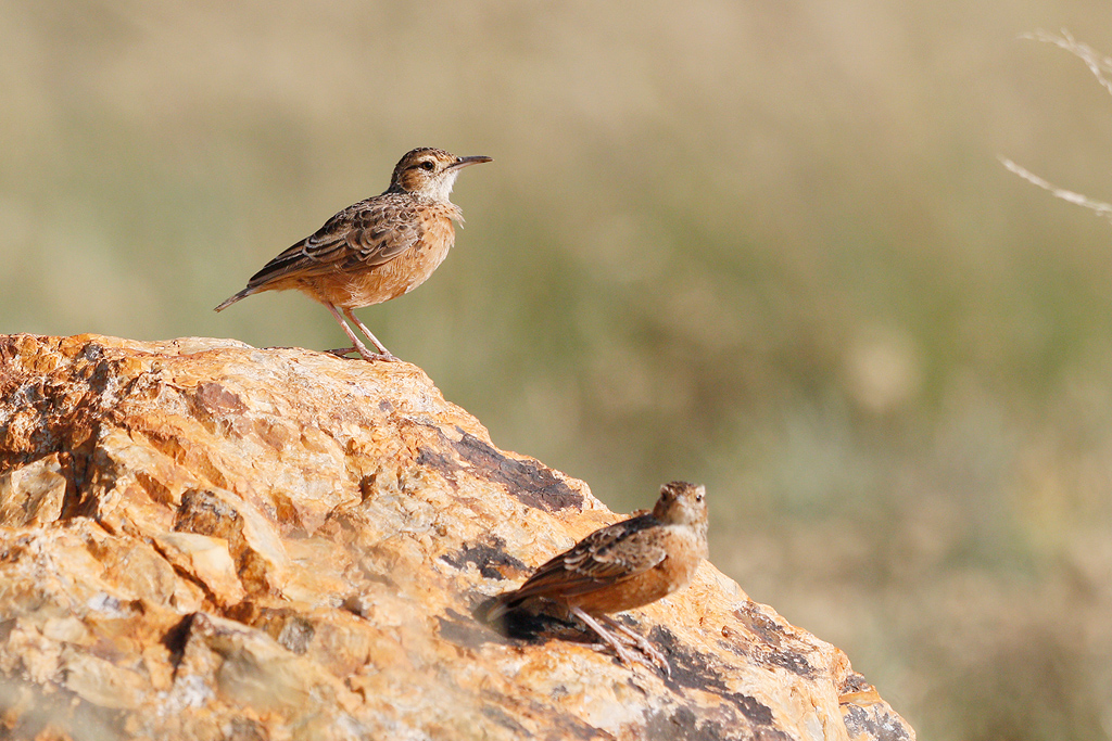 Spike-heeled Lark – Eendracht Road, Suikerbosrand, South Africa – January 2016