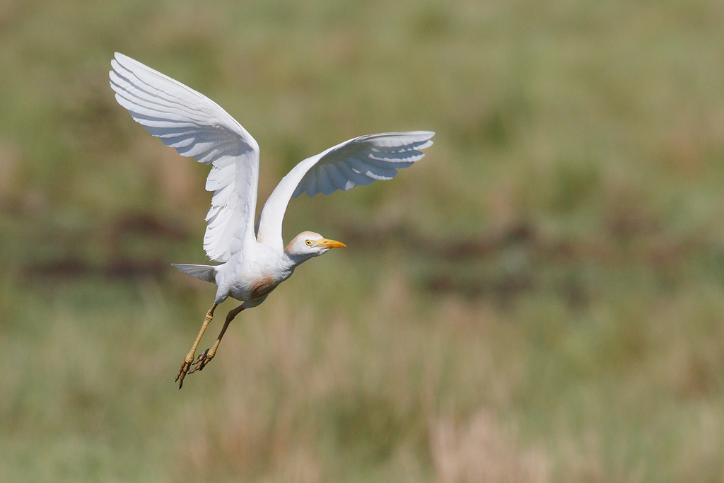 Cattle Egret / Devon Farmlands, South Africa