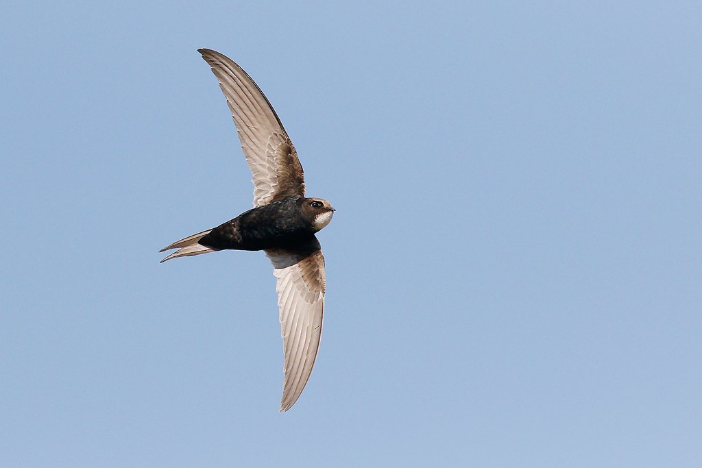 White-rumped Swift / Eendracht Road, South East Gauteng, South Africa / 07 January 2015