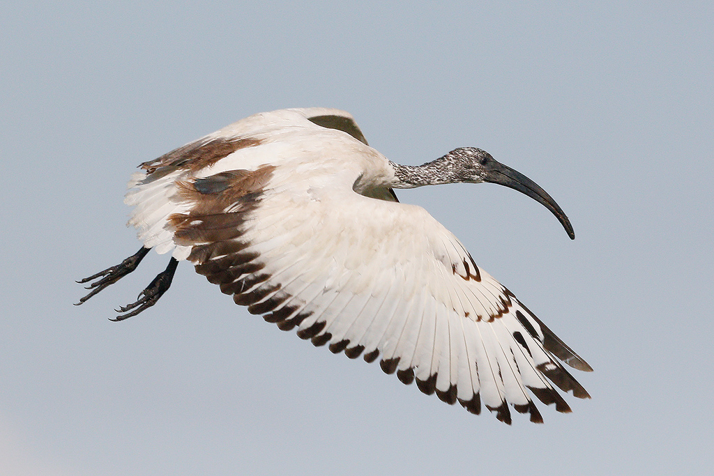 Sacred Ibis / Devon Farmlands, South Africa