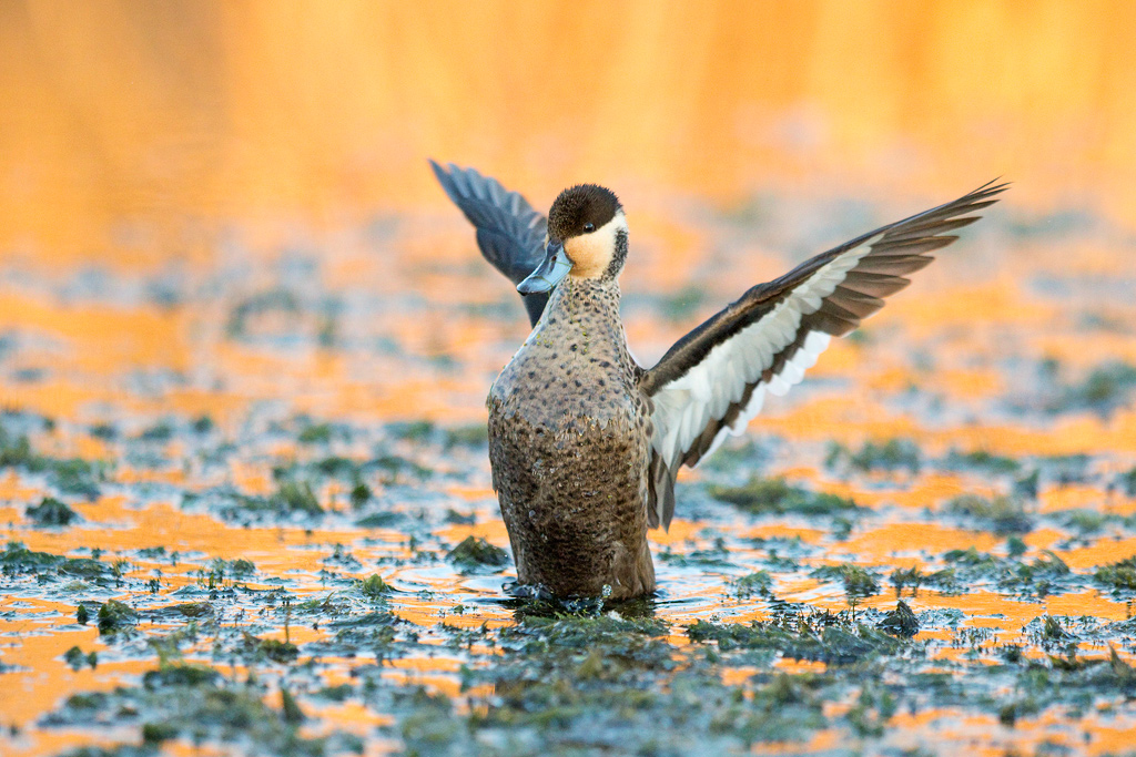 Hottentot Teal / Marievale Bird Sanctuary, Nigel, South Africa / May 2018
