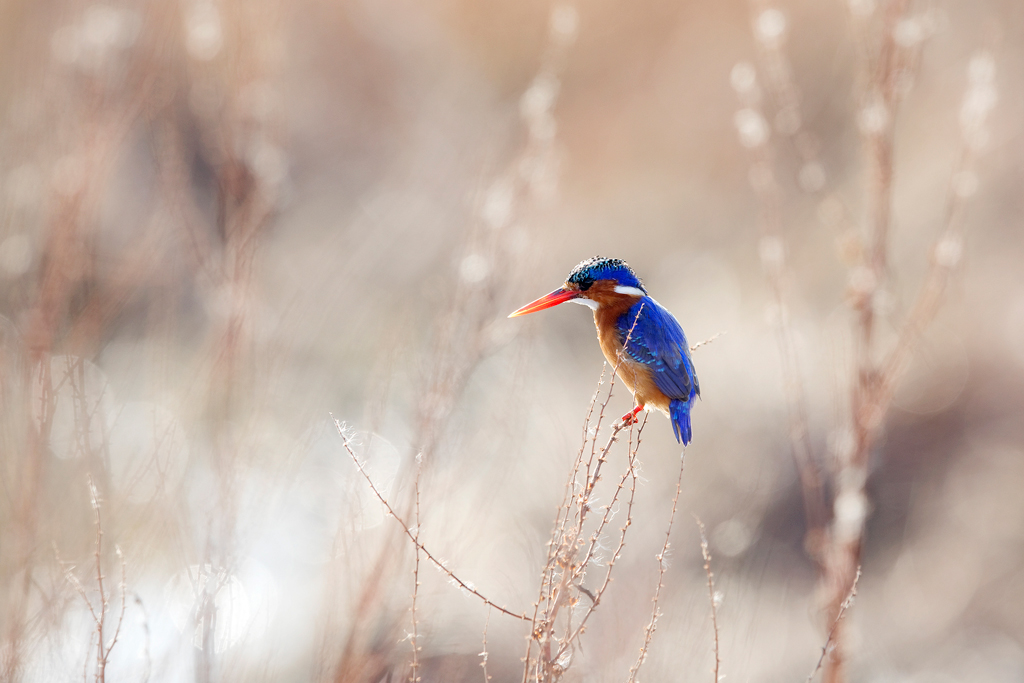 Malachite Kingfisher / Marievale Bird Sanctuary, Nigel, Gauteng, South Africa / April 2018
