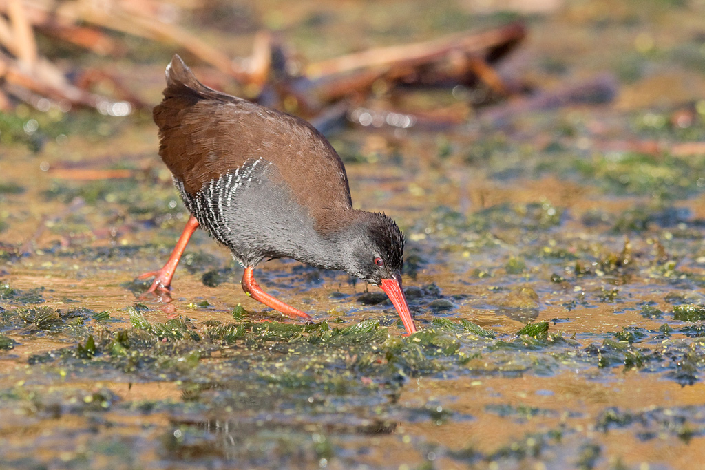 African Rail / Marievale Bird Sanctuary, Nigel, Gauteng, South Africa / May 2018
